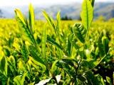 八女星野村から新茶が届きました。
